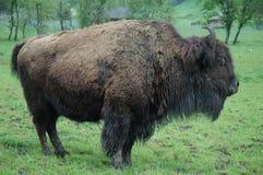 Bull-Büffel stockfotografie