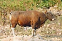 bull banteng Zdjęcia Royalty Free