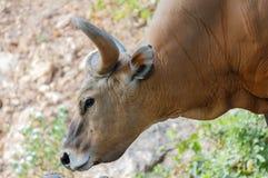 Bull or Banteng Stock Image