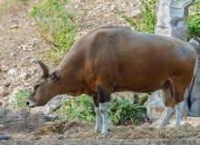 Bull or Banteng. Khao Kheow Open Zoo Royalty Free Stock Photos