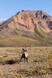 Bull Barren Ground Caribou in Velvet Royalty Free Stock Photography