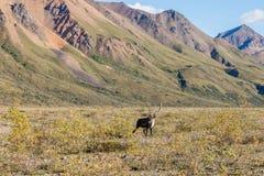 Bull Barren Ground Caribou in Velvet Stock Photo