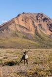 Bull Barren Ground Caribou in Velvet in Alaska Stock Images