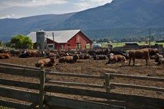 Bull-Bauernhof Lizenzfreies Stockfoto