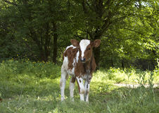 Bull-becerro Imagen de archivo libre de regalías