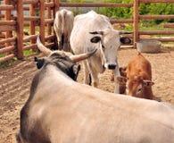 Bull, becerro y vacas Imagenes de archivo