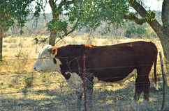 Bull Behind Barbed Wire Stock Photography