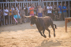 Bull being teased by brave young men in arena after the running-with-the-bulls in the streets of Denia, Spain Royalty Free Stock Photography