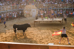 Bull being teased by brave young men in arena after the running-with-the-bulls in the streets of Denia, Spain Royalty Free Stock Photos