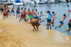 Bull being teased by brave young men in arena after the running-with-the-bulls in the streets of Denia, Spain Stock Photo