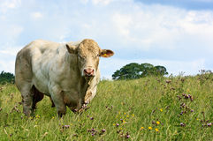 Bull bianco che pasce Immagini Stock