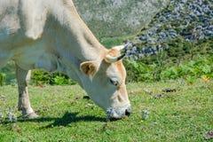 Bull bianco che pasce Immagini Stock Libere da Diritti