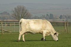Bull bianco che pasce nel campo Immagine Stock