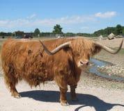 Bull Royalty Free Stock Image