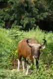 Bull Stock Photography