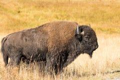 Bull Bison Broadside Stock Photos