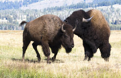 Bull bison with cow bison during rut Stock Photos
