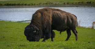 Bull bison eating in the summer Royalty Free Stock Images