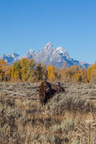 Bull Bison in Fall Stock Photo