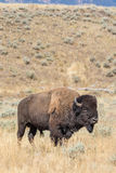 Bull Bison in Fall Royalty Free Stock Image