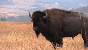 Bull Bison in Fall Zoom in stock footage