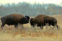 Bull Bison Fighting Stock Photo