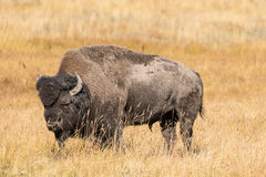 Bull Bison in Grass Meadow Stock Images