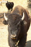 Bull bison is massive and huge. Stock Images