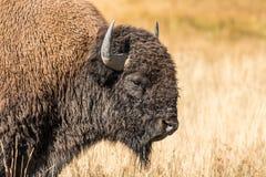 Bull Bison Portait Royalty Free Stock Photos