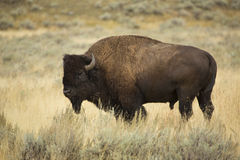 Bull bison in profile, standing in grasslands of Yellowstone, Wy Royalty Free Stock Photo