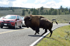 Bull Bison on The Road Stock Images
