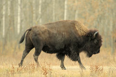 Bull Bison Running Stock Photo