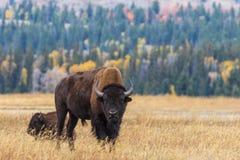 Bull Bison Rutting en otoño foto de archivo libre de regalías
