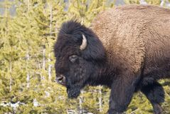 Bull Bison Side-view Portrait Royalty Free Stock Images