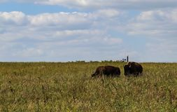 Bull bison sneaking up on a female on the tall grass prarie with oil well pump jack on the horizon. Bull bison with horns sneaking up on a female on the tall stock photography