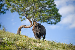 Bull Bison Standing Under a Stunted Rubbing Tree Stock Photos
