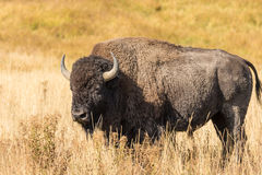 Bull Bison Stock Image