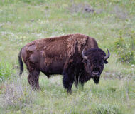 Bull Bison Starring into the Camera Stock Images