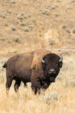 Bull Bison Royalty Free Stock Photo