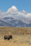 Bull Bison and the Tetons Royalty Free Stock Image