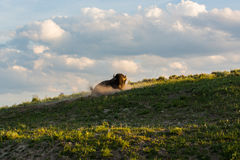 Bull Bison wallowing on hillside on a summers evening light. Bull bison wallowing on top of a sloping grassy hillside on a sunny summers evening, with blue sky Royalty Free Stock Photo