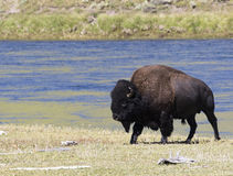 Bull bison wet after leaving river from a short swim Royalty Free Stock Photos