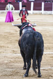 Bull black 650 kg looking thoroughly banderillero prepared to put flags in the Bullring of Ubeda. Ubeda, Jaen province, SPAIN - 29 september 2010: Bull black 650 Stock Photo