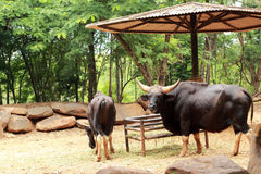 Bull black in the nature.  Stock Photography