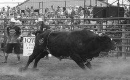 Bull in black and white Royalty Free Stock Images