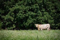Bull blanca en campo Fotos de archivo libres de regalías