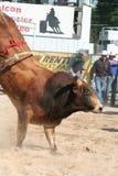 Bull bucking. Brown bull bucking Royalty Free Stock Photos