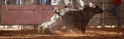 Bull Bucks Off Cowboy Rider Into The Dust At Country Rodeo Stock Photo
