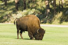 Bull buffalo 2. An American buffalo bull grazing in Custer State Park in the Black Hills of South Dakota. The largest land mammal in North America Stock Image