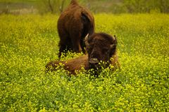 Bull buffalo laying in the grass. Royalty Free Stock Photo